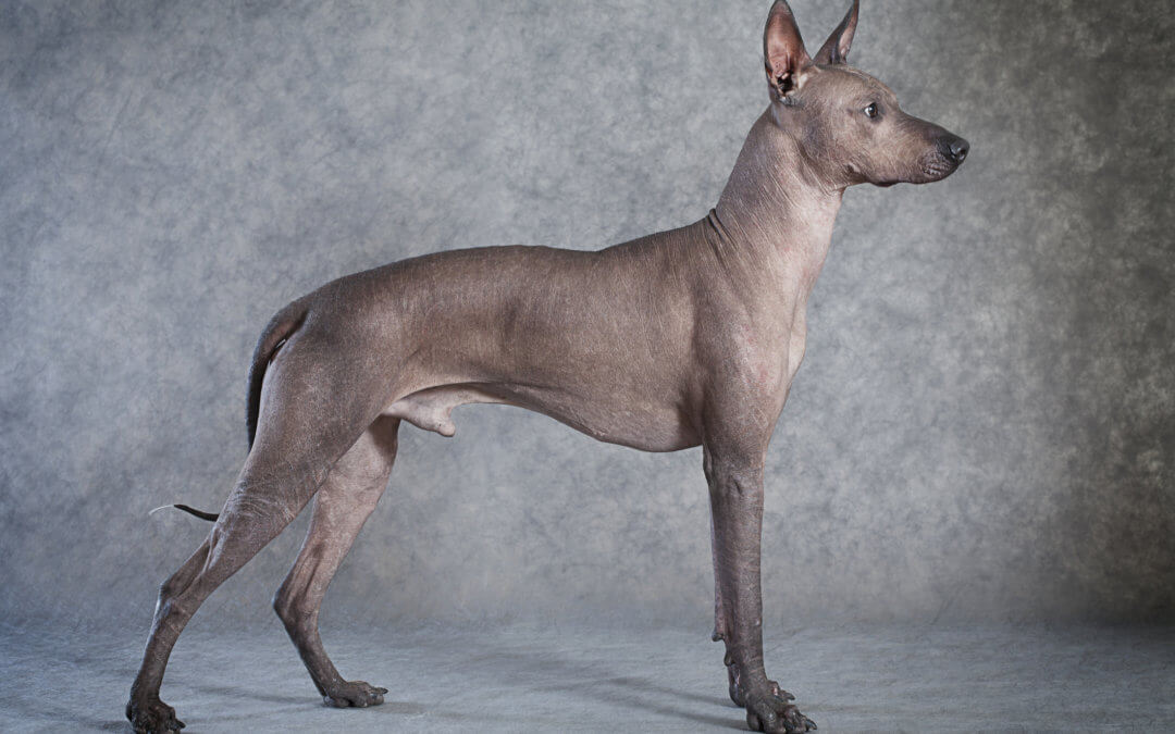 #300 -Mexican Hairless dog, el Xolo